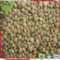 2016 Fresh New Dried Green Lentils