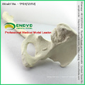 HÔTE SIMULÉE DE GROS PLAN 12314 Hanche artificielle d'anatomie médicale avec l'os de fémur, os de simulation de pratique d'orthopédie