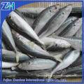 frozen round scad fish mackerel origin China