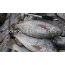Frozen Whole Round Croaker