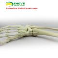 TF06 (12317) Synthetic Bones - Skeleton of Lower Limb (Right or Left),SWABone Models / Tibia + Fibula + Foot Skeleton