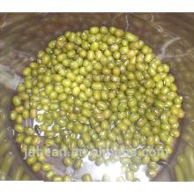 frijol mungo verde para brotar con altas tasas de germinación