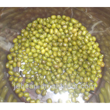 green mung bean for sprouting with high germination rates