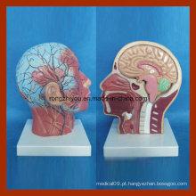 Cara superficial humana com músculo, vaso de sangue nervoso com modelo de cérebro dissecável