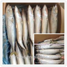 Fábrica de frutos do mar fujian de cavala atlântica (scomber combru)