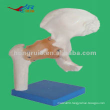 2012 best-selling Life-size model of hip joint Model