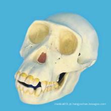 Modelo de esqueleto da cabeça do crânio humano do chimpanzé para o ensino médico