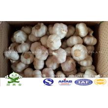 Normal White Garlic in 10kgs Carton Box Loosely Packing