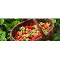 IQF Freezing Organic Strawberry HS-16090904