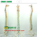 SPINE04-1 (12376) Medical Science Life Size Vertebral Column Spinal Model with Femur, Spine/Vertebrae Models