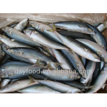 Wholesale Frozen Bonito Tuna in Cheap
