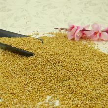 Cosecha 2016 Amarillo / Blanco Broom Corn Millet
