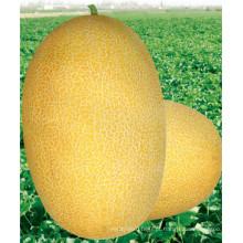 HSM03 Kaolv oval golden amarelo F1 híbrido hami sementes de melão, melão