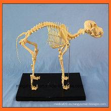 Modelo de esqueleto vendedor caliente del perro para la educación