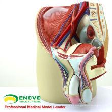 ANATOMY01 (12439) Tamaño de la pelvis masculina Modelo anatómico, 4 partes, Modelos de anatomía> Modelos masculinos / femeninos> Modelos de pelvis