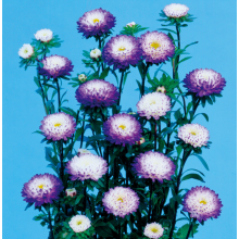 Best quality Low price for China Flower Seeds,Potmarigold Calendula,Sweet William Manufacturer Latest Callistephus chinensis seeds for planting supply to Uganda Manufacturers