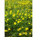 100% natürliche Catclaw Buttercup Wurzelknolle Extrakt