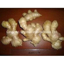 Frischer Ingwer / Air-Dry Ginger / Half Dry Ginger