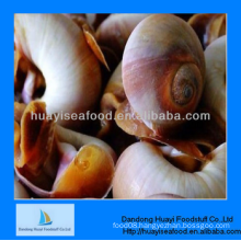 fresh frozen moon snail in shell for sale