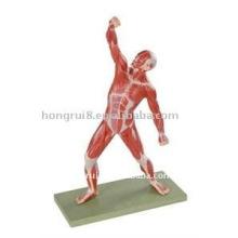 Modelo de músculos humanos de 50 cm