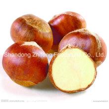 Tamaño 60-80 Chestnut fresco