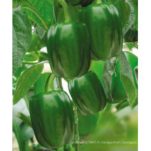 HSP24 Zongda grand brillant vert F1 hybride douce / graines de poivron dans les graines de légumes