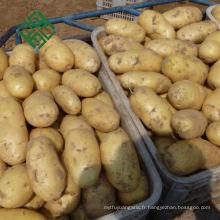 Chine pomme de terre Hollandaise 50g-100g Nouvelle pomme de terre fraîche