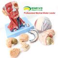 MUSCLE15 (12309) Anatomical Teaching Model Head con músculos y vasos sanguíneos cerebrales Anatomy 12309