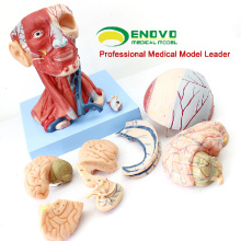 MUSCLE15(12309) Anatomical Teaching Model Head with Muscles and Brain Blood Vessel Anatomy 12309