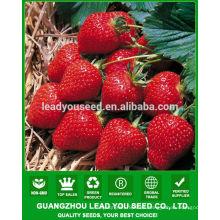 SB01 Hada nueva llegada semillas de fresa de alta calidad para el cultivo