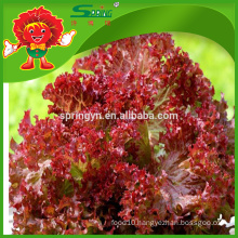 frozen red and purple Non polluted Chinese lettuce