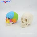 PNT-0159 modelo de crânio colorido humano, 22 partes em tamanho natural