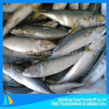 frozen mackerel(scomber japonicus)