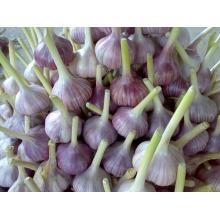 chinese quality fresh garlic