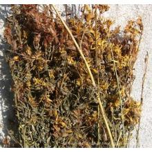 Folhas de hipericão e flores de até 35cm
