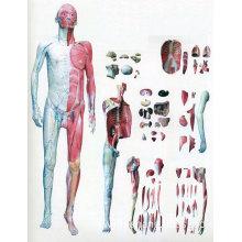 Human Body M...