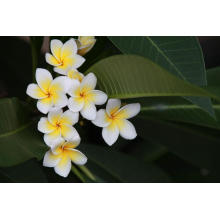 Frangipani Essential Oil 10ml