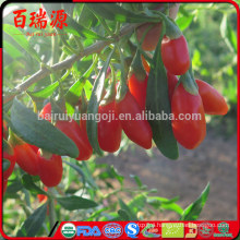 Goji berries cancer research goji berries good to fight cancer goji berries anti cancer