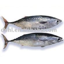 frozen skipjack bonito,bonito tuna, stripe fish, skipjack tuna fish, bomb fish, bullet fish,frozen Atlantic bonito