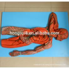 Modelo avanzado del sistema linfático humano de la ISO, modelo anatómico
