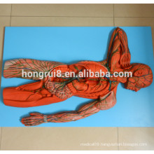ISO Advanced Human Lymph System Model, Anatomical Model