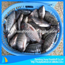 frozen whole round tilapia from Chinese market