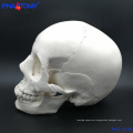 PNT-0158 adult skull model,22 parts high quality