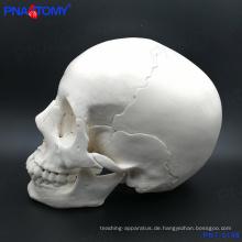 PNT-0158 Erwachsenenschädel Modell, 22 Teile hohe Qualität