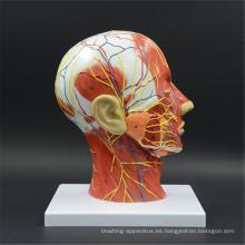 Más barato modelo de enseñanza del cerebro