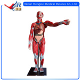 High Quality Human Anatomical Model&Muscle Anatomical Mode