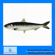 high quality new landing frozen sardine
