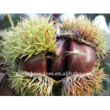 sell 2011 fresh Chestnut