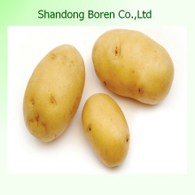 Suministro de patata estándar internacional de China