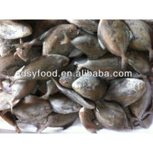 Frozen black pomfret whole fish